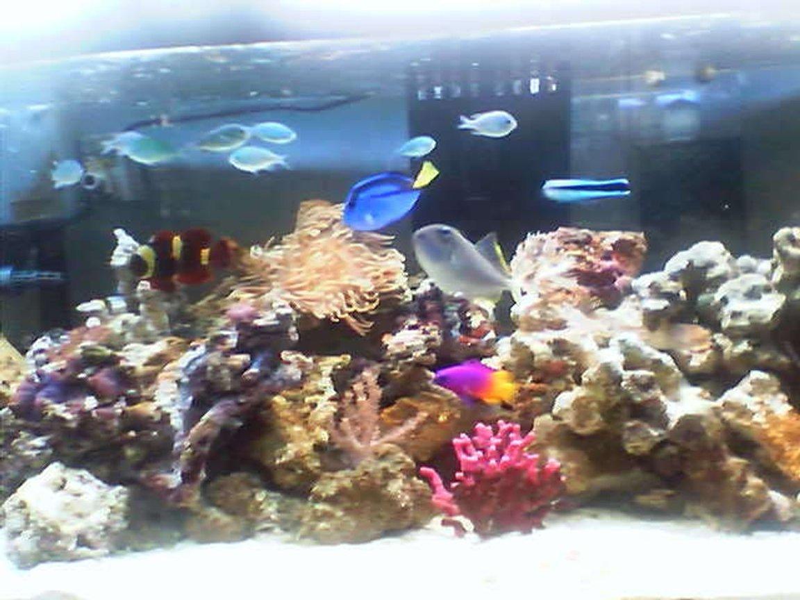 Photo 14 My Moorish Idol Eats Anything But Corals This P