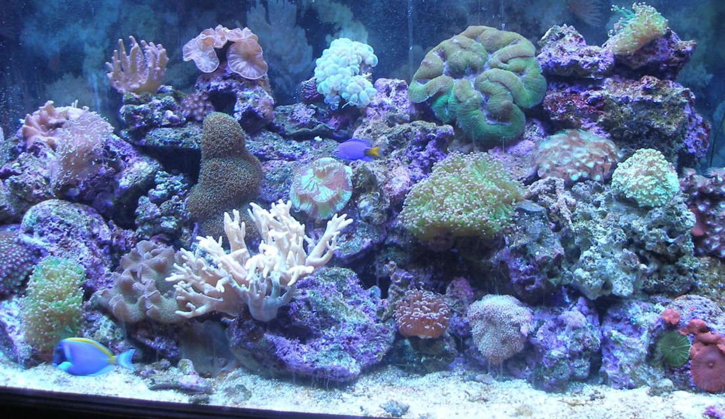 90 gallons reef tank (mostly live coral and fish) - 90 gal. Reef Tank w/Powder Blue Tang, Yellow Tail Damsel, Coral Beauty, Blue/Green Chromis. LPS, Leathers, Soft Corals & Mushrooms