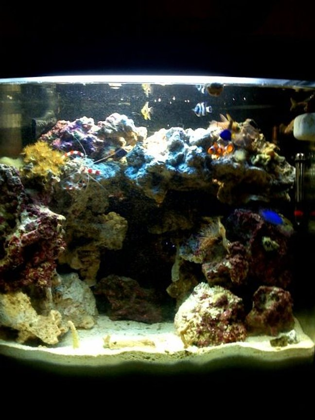 24 gallons reef tank (mostly live coral and fish) - My newly built tank, just 3 months old.