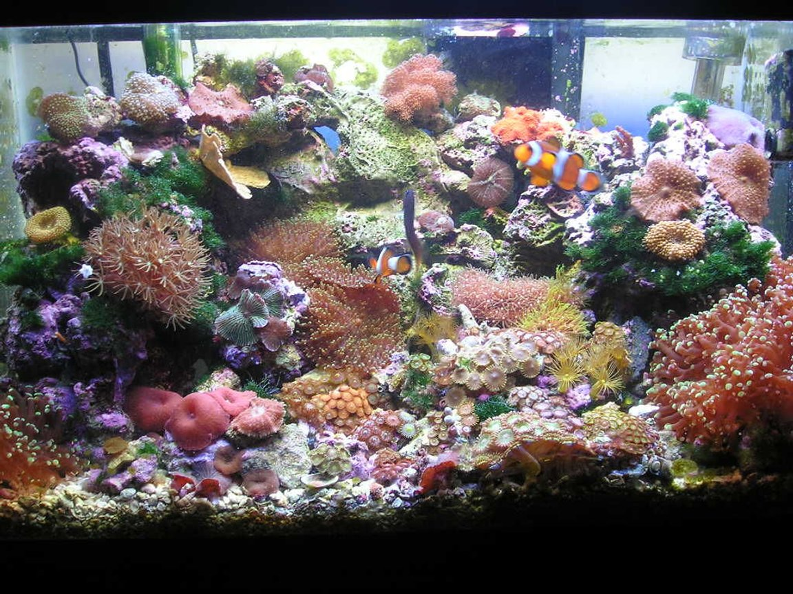 10 gallons reef tank (mostly live coral and fish) - This is my 10 gallon Reef Tank. I have about 30 lbs. of live rock, 80 watt compact light fixture, hang on filter and power head. I have several types of zoas, polythoas, and mushrooms. I also have a Green tip Frog pawn and a hybrid Torch/Frogpawn. I have a pair of Ocellaris clowns, Bicolor Blenny, Pair of Wheeler Watchman Gobies, Pistol Shrimp, and a Cleaner Shrimp.