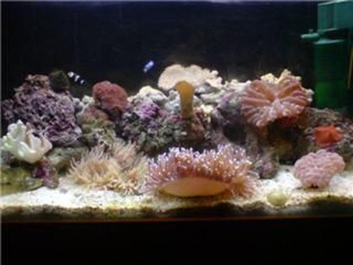 100 gallons reef tank (mostly live coral and fish) - 5 month old 35g, abit dirty atm