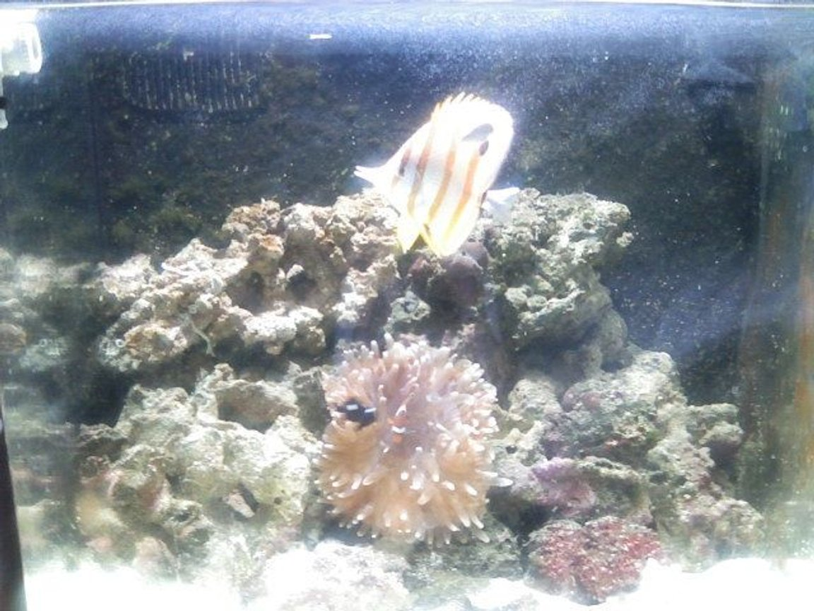 24 gallons reef tank (mostly live coral and fish) - My Copperband Butterflyfish looking real Golden
