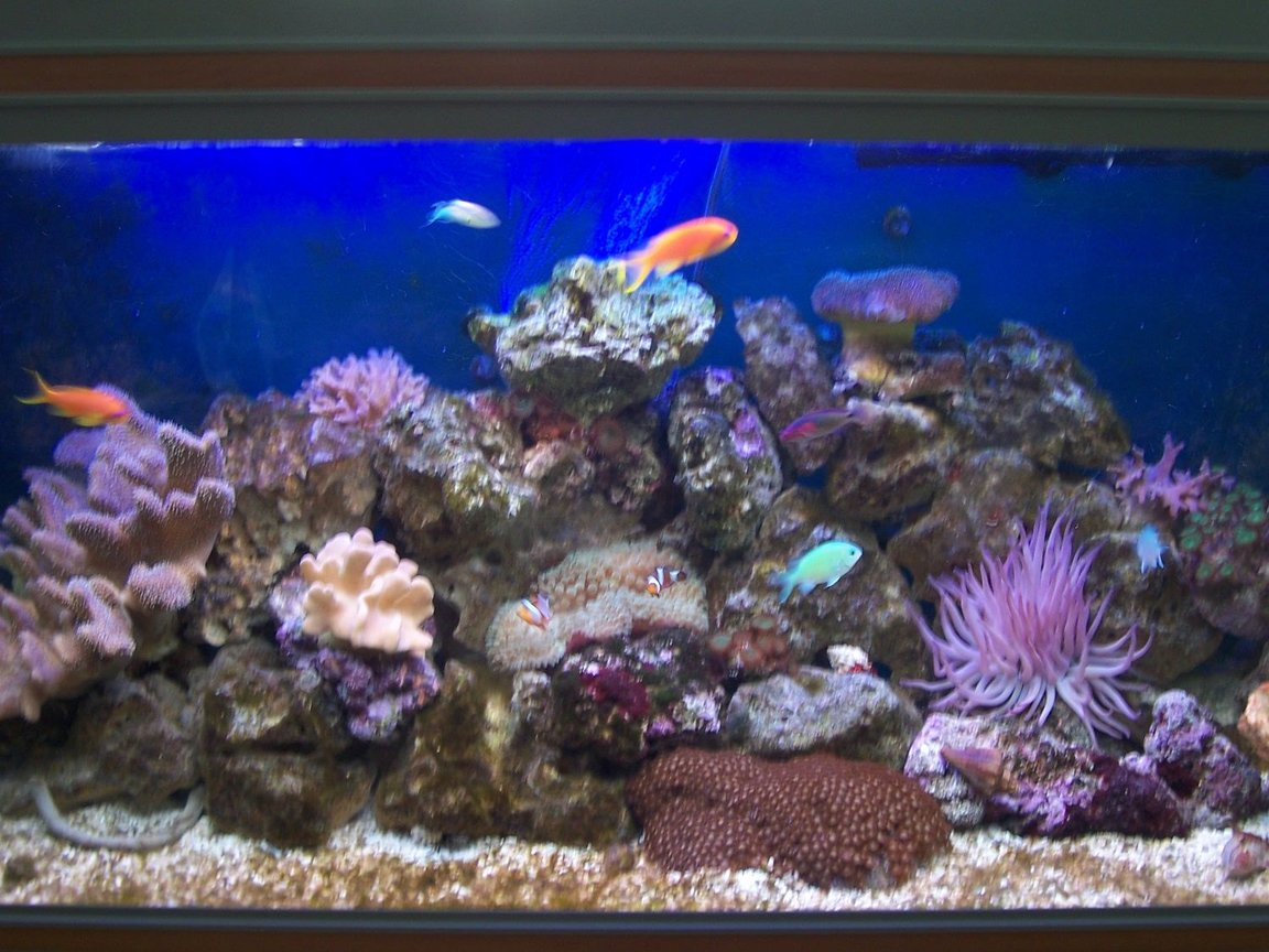 52 gallons reef tank (mostly live coral and fish) - Aquarium at 5 months old