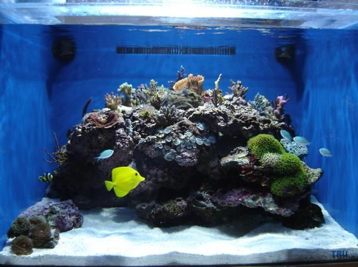 35 gallons reef tank (mostly live coral and fish) - My mini-frag reef tank