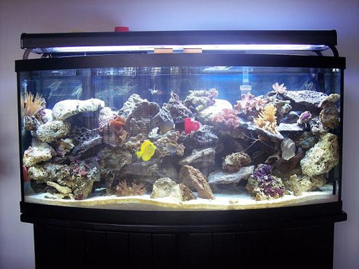 72 gallons reef tank (mostly live coral and fish) - 72 Gal. bow front. There is 1 emperior 400 filter with along with a magnum 350 and a skilter 450. This tank has: 60 pounds reef sand, 75 lbs base rock, 50 lbs live rock, 2 10,000 Bulbs, 2 6500k Bulbs, 2 Luner Bulbs, 2 actinic bulbs, 2 moon lights, 2 leather corals, 3 anemones,3 feather dusters, 3 colonies of red mushrooms, 1 clam, 1 yellow tang,1 demsal, 1 maroon clown, 1 scooter blenny, 5 chromis, 1 pink cucumber,2 cleaner shrimp, 1 scallop, 1 angelfish, 1 serpent star.