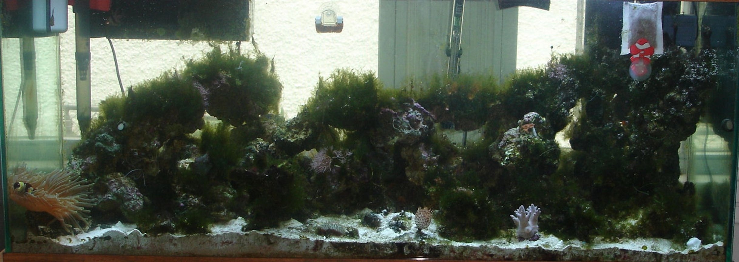52 gallons reef tank (mostly live coral and fish) - 75 gallon with t5 lights, bakpak 2rv protein skimmer, 1 chocolate tang, 1 maroon clown hosting a green bubble tipped anemone, 2 true percula clowns, 1 lawnmower blenny, 1 hawaiian feather duster, polyps, leather coral, 1 yellow tailed damsel, 1 coral banded shrimp,3 pajama cardinals. This tank has 100 lbs of live sand and 80 lbs of live rock with many different types of snails and hermit crabs.