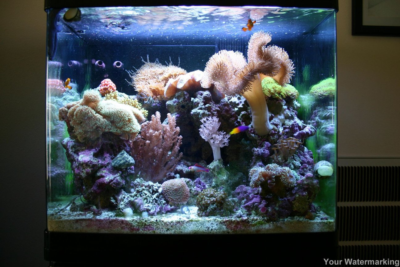 34 gallons reef tank (mostly live coral and fish) - This is our 34 Gallon Red Sea Max at 6 months old. There is 65lbs of live rock in this tank.