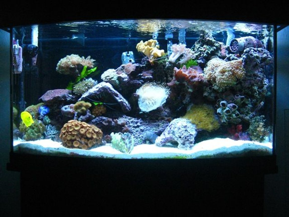 46 gallons reef tank (mostly live coral and fish) - Updated picture of my 46 gallon bow front tank. I've added new lighting, (6 T5's) with canopy, and a 1/13 HP Mighty Pro Chiller. I put in some new corals also! I added 1 Chilli Coral, Green Mushrooms, Electric Green Frogspawn, Radioactive Zoanthids, Cup Coral, Pagoda and a Derasa Clam.
