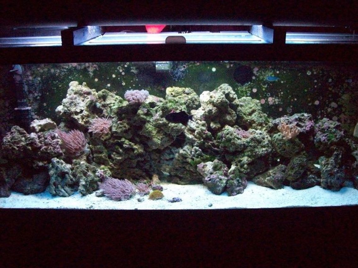 "125 gallons reef tank (mostly live coral and fish) - 125 Gallon Salt/Reef Tank 6'L/18""D/23""T 150Lbs Live Fiji Rock 100Lbs Live Sand Power Compact Light,Fluval403,Penguin BioWheel 350,Sea Clone Skimmer,Koralia 3's,Magnum Titanium heater. 11 Fish,Soft Corals,Hard Corals,Invert"