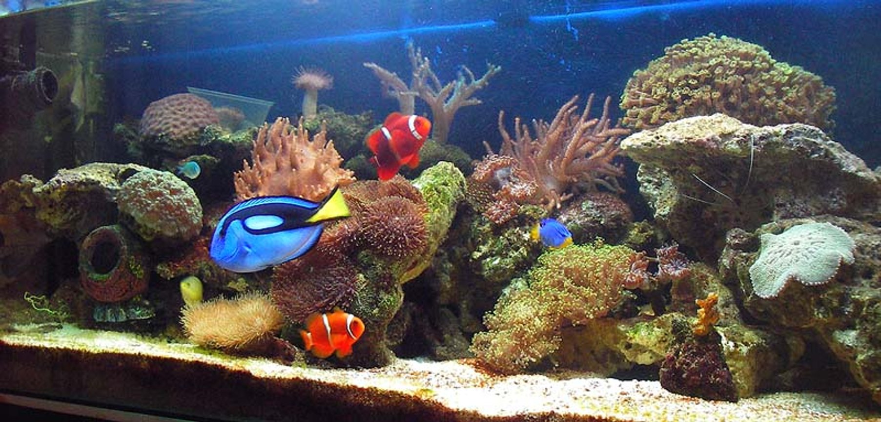 67 gallons reef tank (mostly live coral and fish) - Reef tank