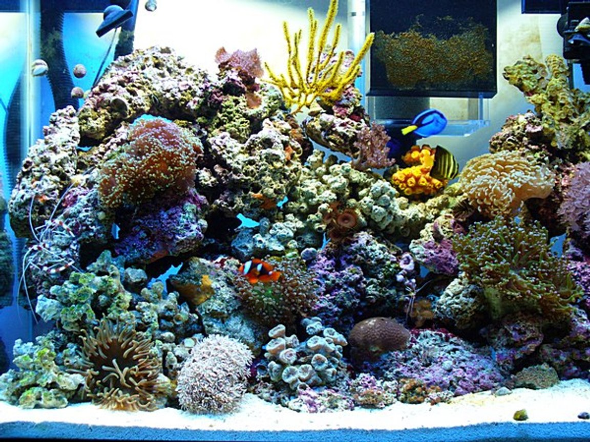 37 gallons reef tank (mostly live coral and fish) - HERE IS THE TANK ONLY IN MEMORIES, IT NO LONGER SITS, IT WAS TAKEN DOWN TO GET A BIGGER TANK
