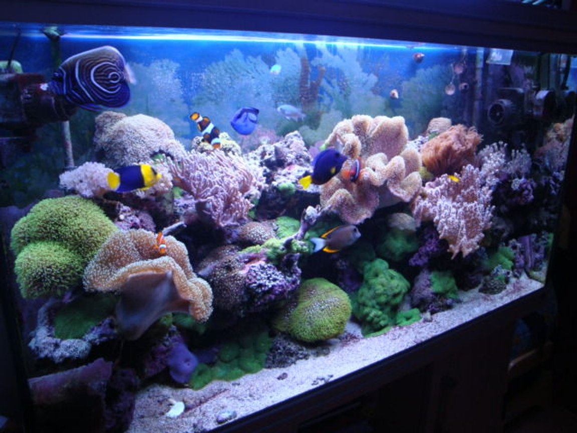 65 gallons reef tank (mostly live coral and fish) - Reef Tank 2009