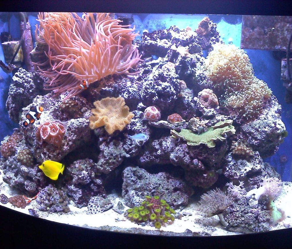 46 gallons reef tank (mostly live coral and fish) - 46G bowfront. August 2010