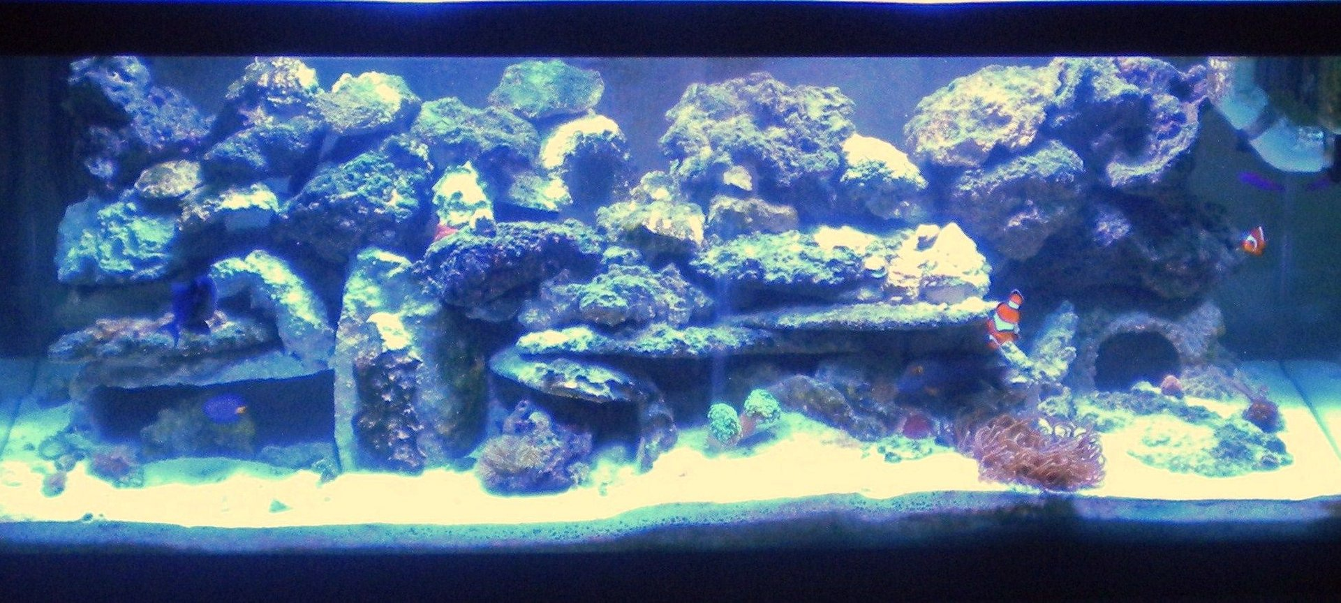 75 gallons reef tank (mostly live coral and fish) - 75 Gal Main Tank