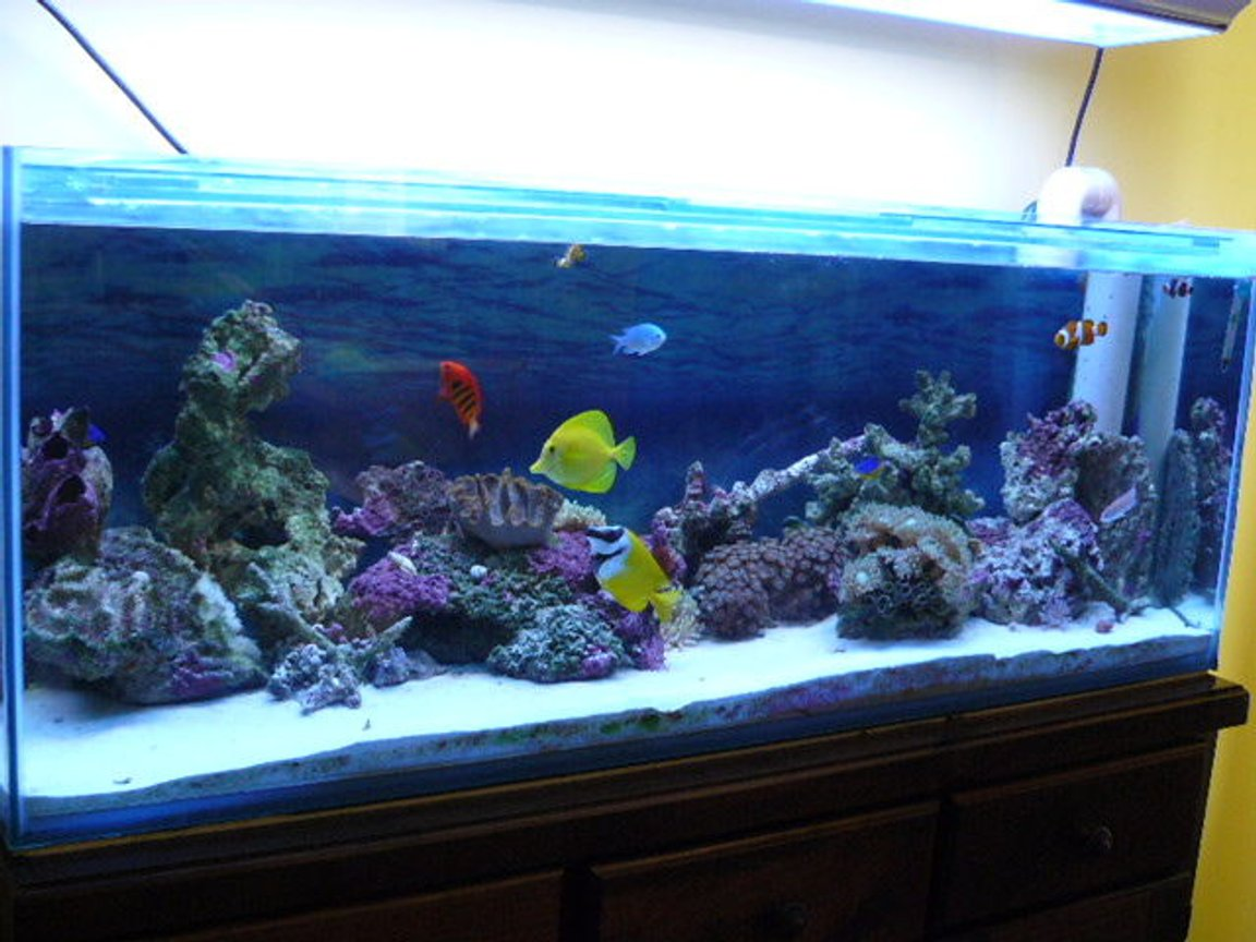 52 gallons reef tank (mostly live coral and fish) - my first reef tank. 20kg live sand. 20-25kg live rock. fox face, yellow tang, flame angel, blue chromis, 3 clowns, 2 damsels, pink anthia. 2 anemones. various soft corals.