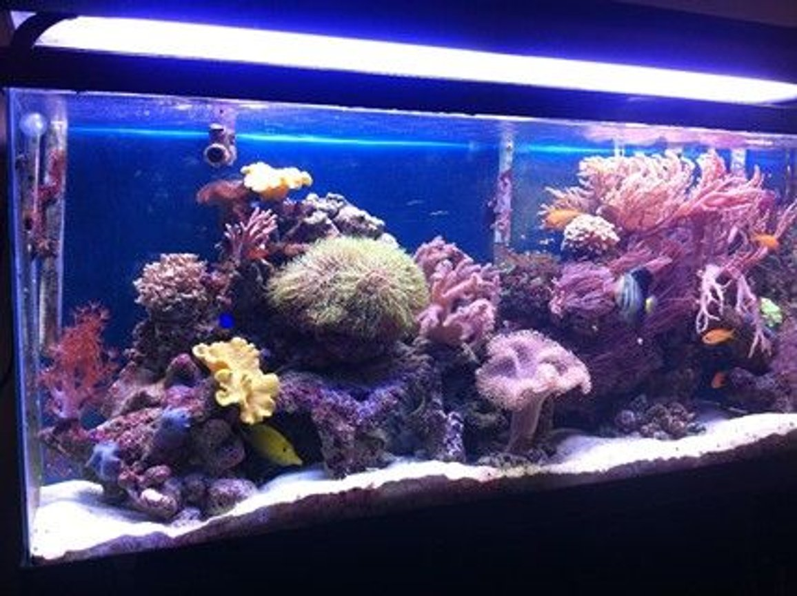 55 gallons reef tank (mostly live coral and fish) - 55 gallon