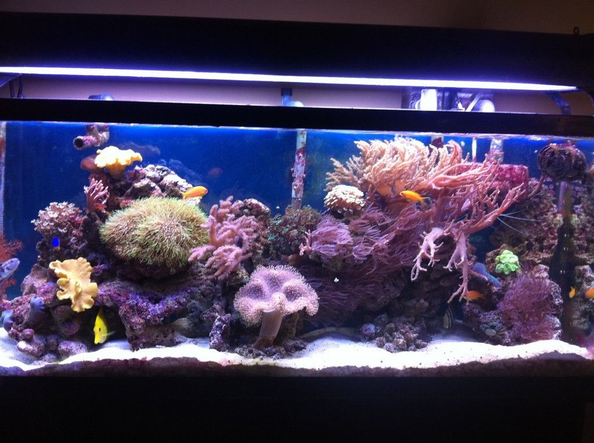 55 gallons reef tank (mostly live coral and fish) - Front view - a little blurry