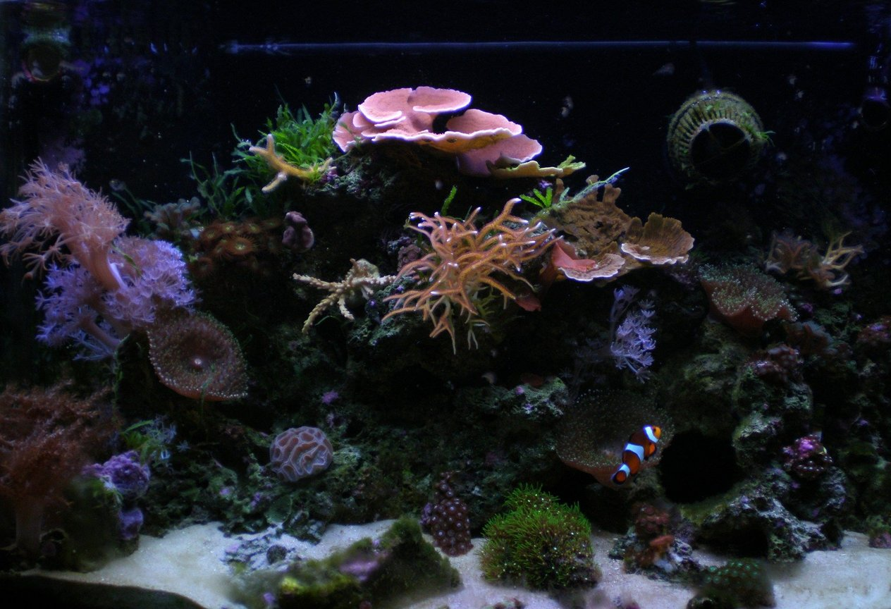 29 gallons reef tank (mostly live coral and fish) - Ghurlag's 29g Reef FTS