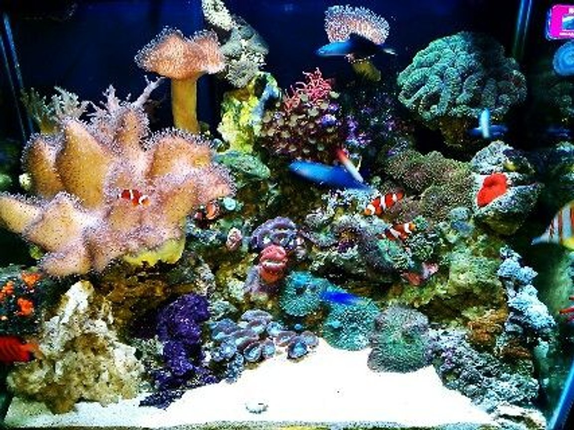 75 gallons reef tank (mostly live coral and fish) - My reef