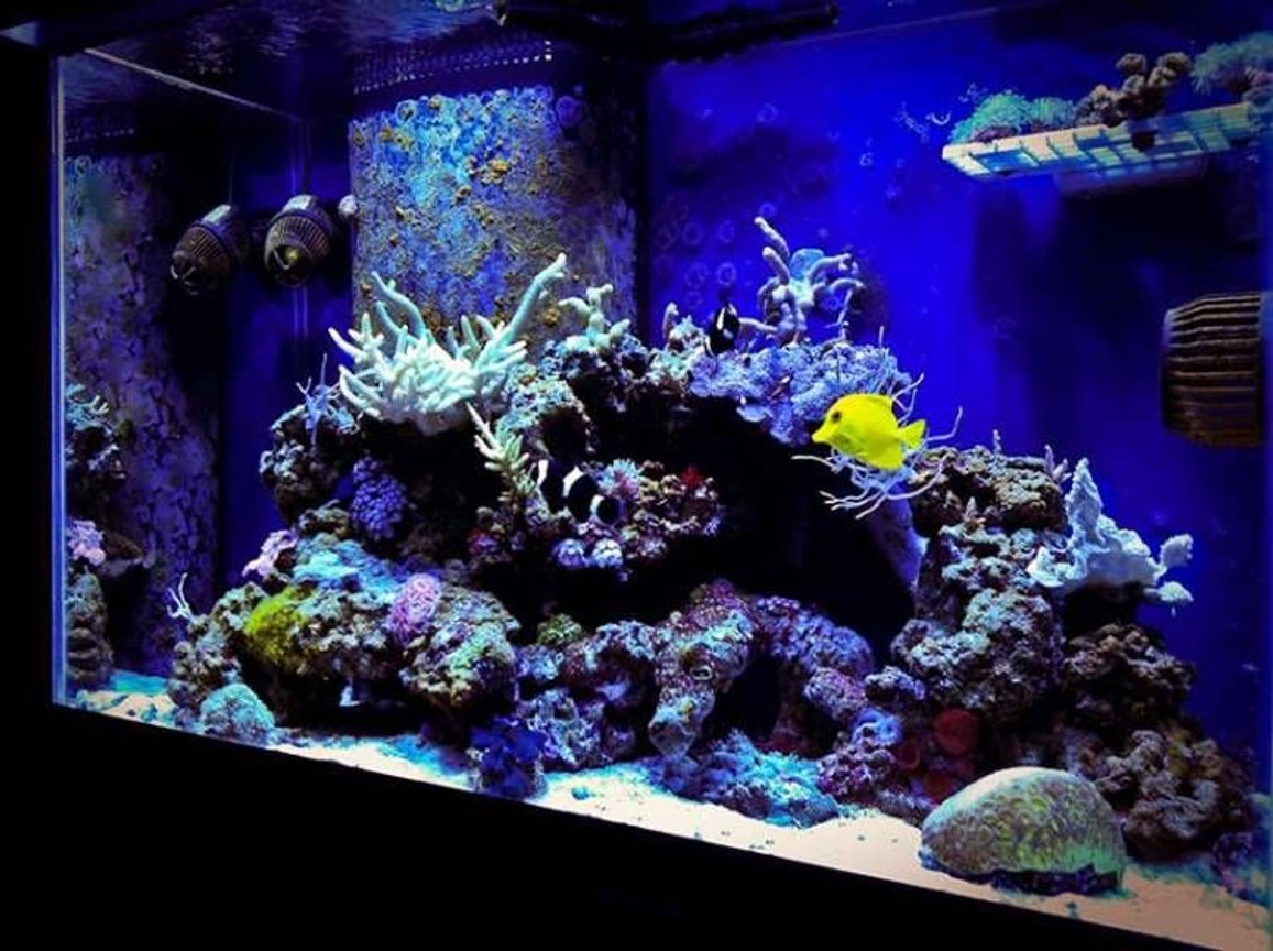 65 gallons reef tank (mostly live coral and fish) - Mojo's 65 RR MH+T5