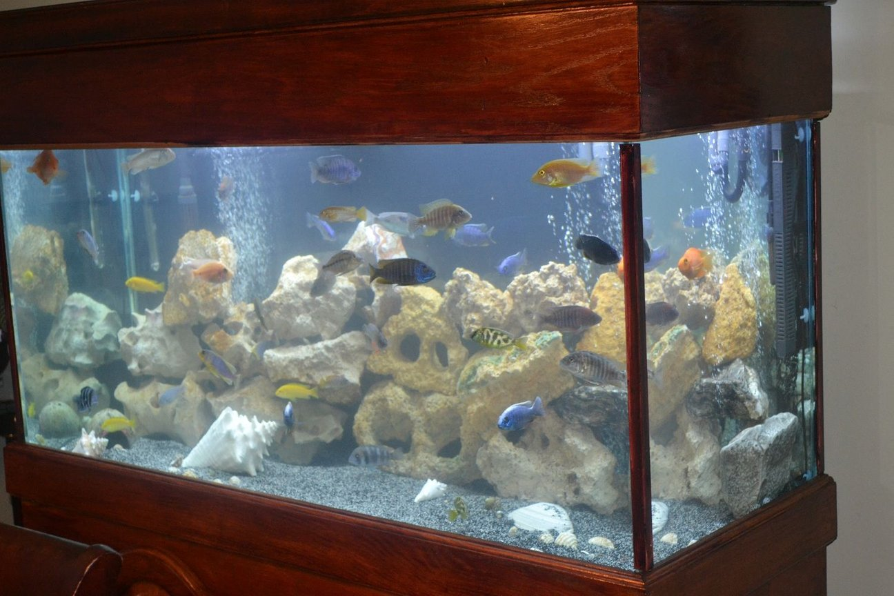90 gallons reef tank (mostly live coral and fish) - My Favorite Cichlid tank.