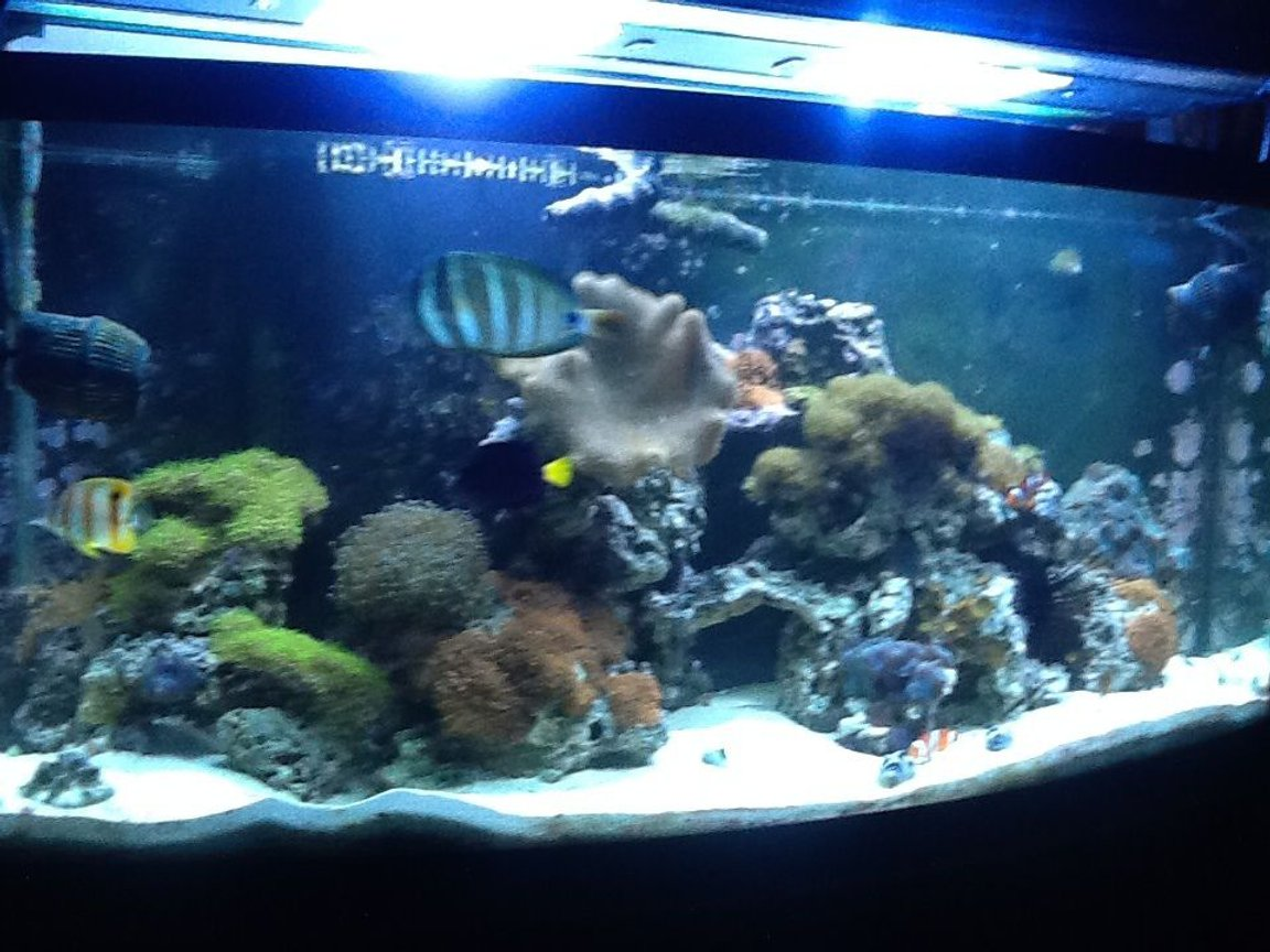 72 gallons reef tank (mostly live coral and fish) - Fish
