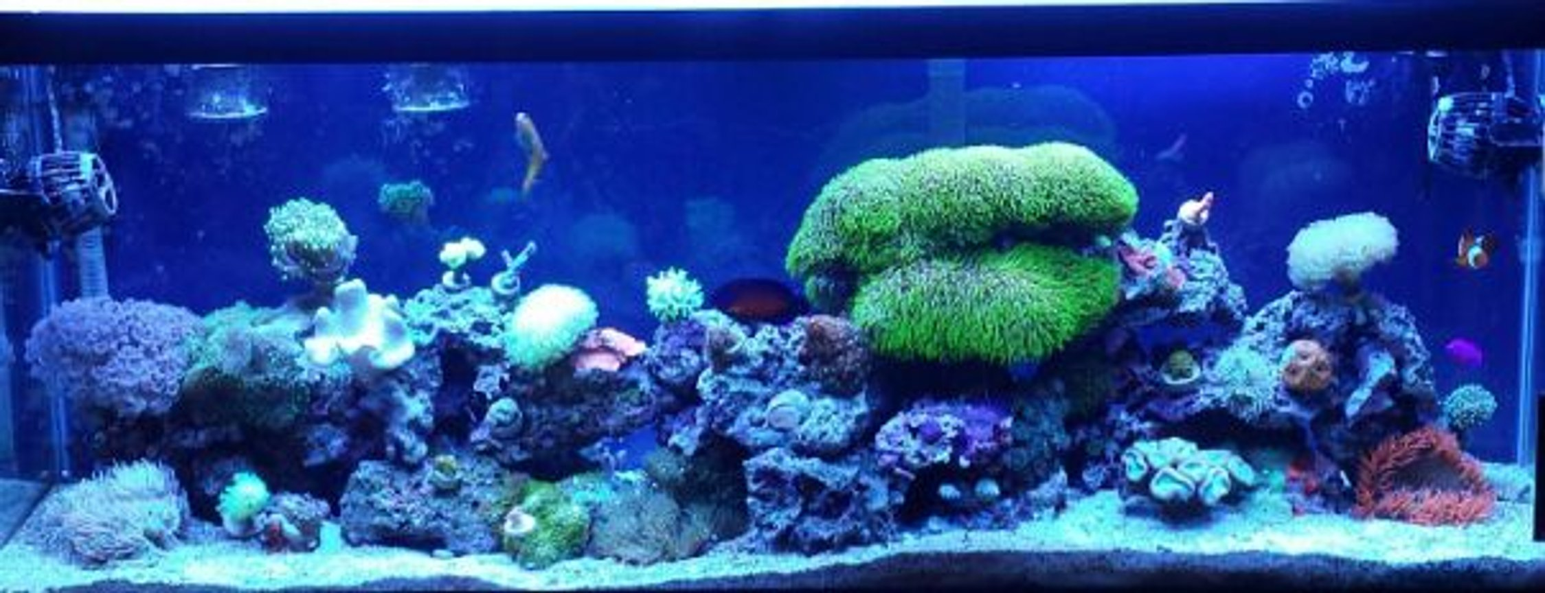 50 gallons reef tank (mostly live coral and fish) - My 50 gallon sumpless reef.