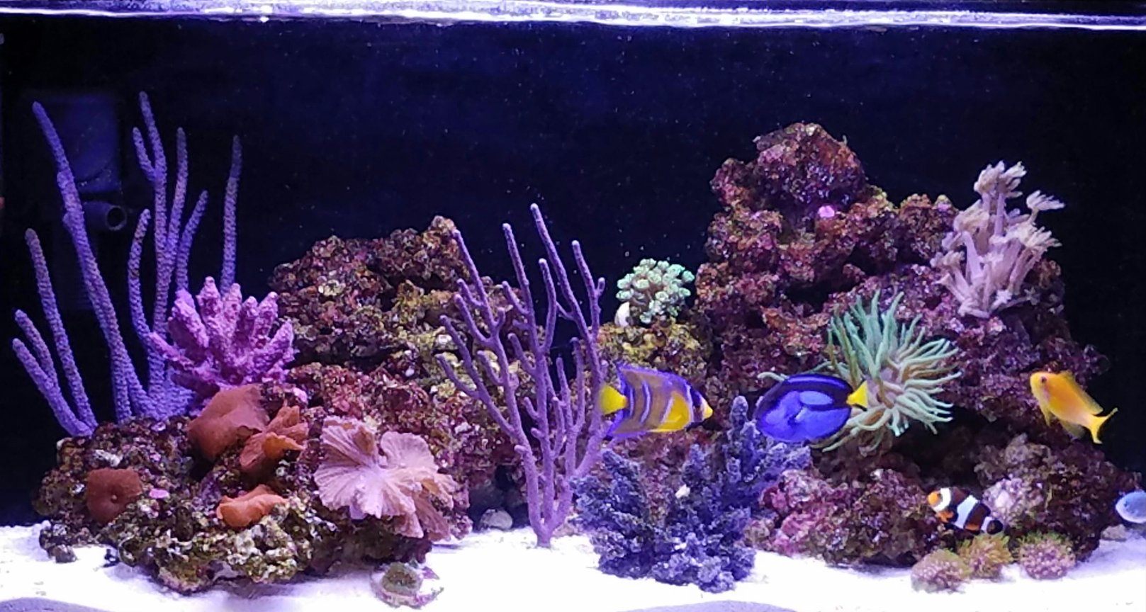 20 gallons reef tank (mostly live coral and fish) - My reef tank