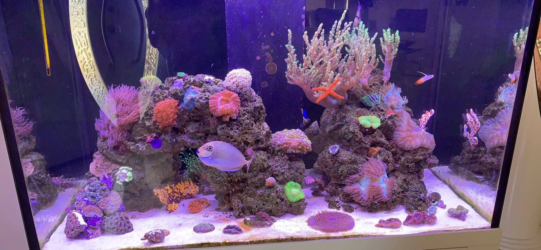 85 gallons reef tank (mostly live coral and fish) - First upload to the site. :)