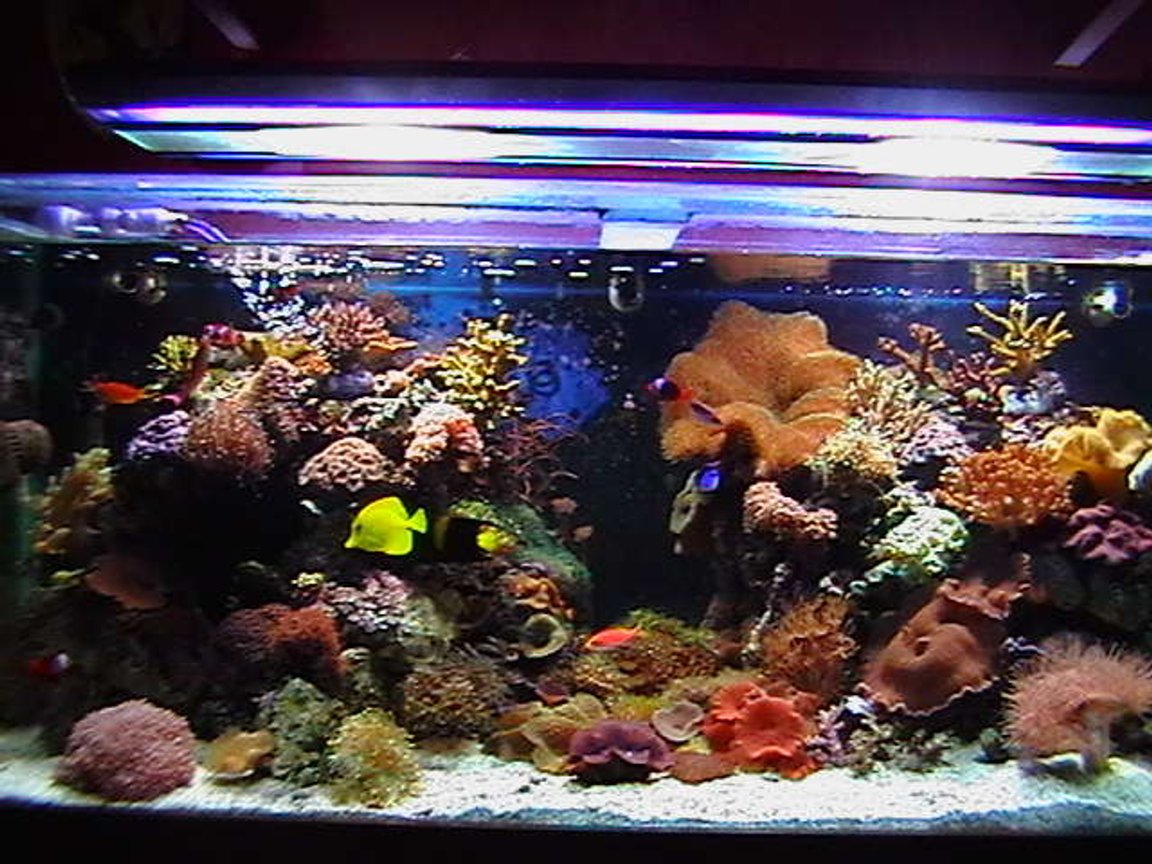 150 gallons reef tank (mostly live coral and fish) - 5x2x2. main tank.sump 3x2x1,with mineral mud.lighting2x150watt metal halides2 blue actinics.reef rack.3 power heads in main tank,uvlight.105kg live cured rock