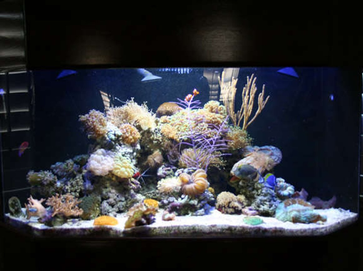 100 gallons reef tank (mostly live coral and fish) - My Passion-100 Gallon Corner Reef Tank with live coral and fish. My next project, a 450 gallon saltwater tank, I will post pictures once complete :-)