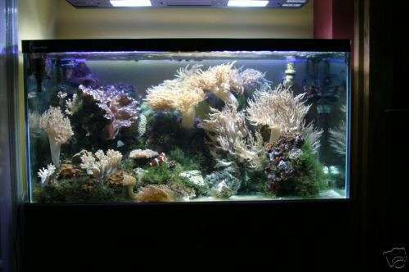 reef tank (mostly live coral and fish) - 48x24x24 custom built clearseal aquarium
