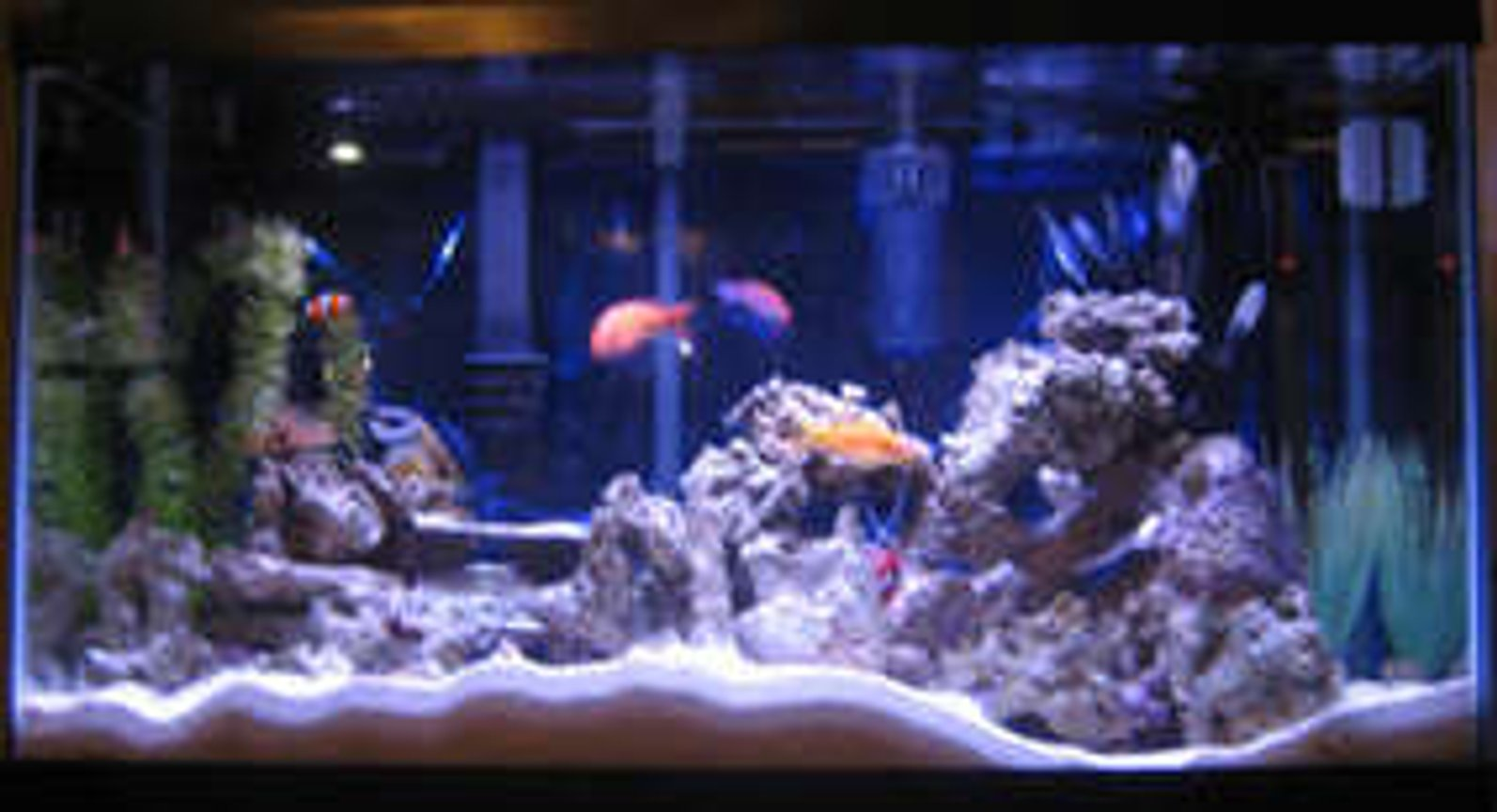 38 gallons reef tank (mostly live coral and fish) - Tank 1