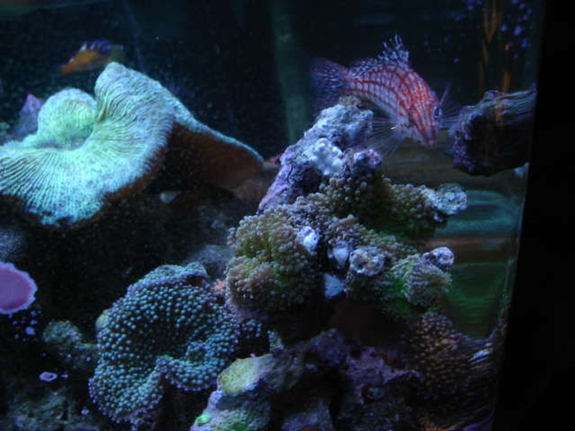 reef tank (mostly live coral and fish) - long nosed hawk, ricordeas, open brain and tobacco bass in background