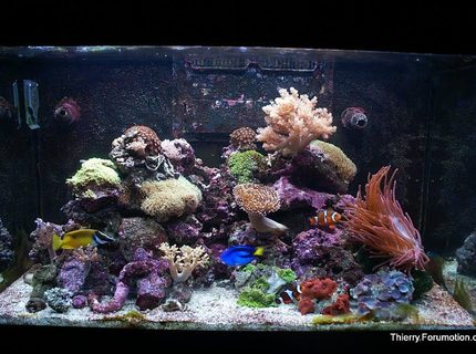 66 gallons reef tank (mostly live coral and fish) - My Red Sea Max 250 in August