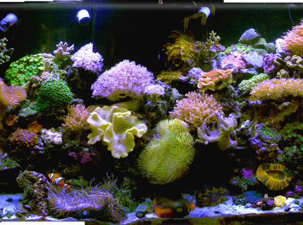 140 gallons reef tank (mostly live coral and fish) - my new  old tank after the house got hit by lightening and the lights didnt work for 2 weeks when we were