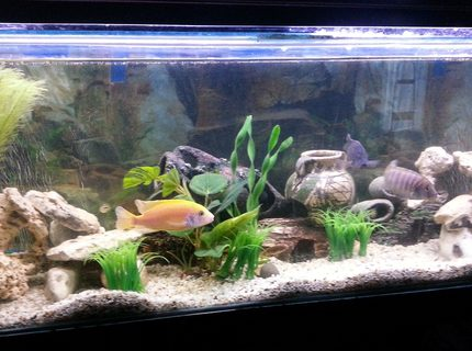 44 gallons reef tank (mostly live coral and fish) - African Cichlid Mbuna Tank