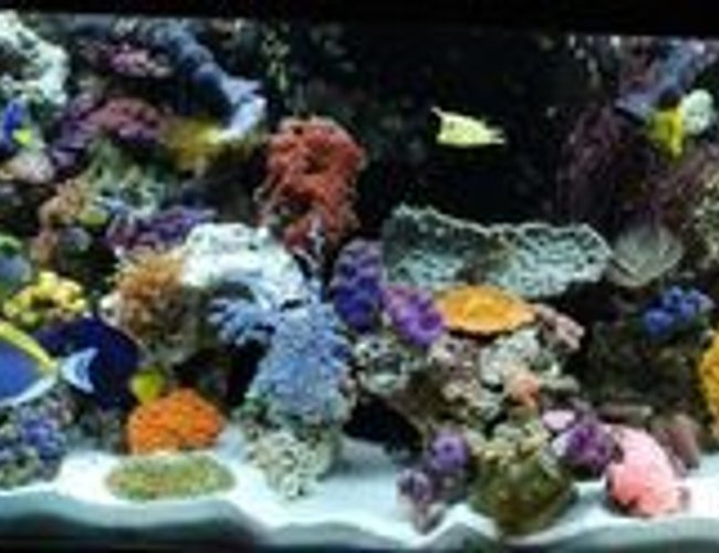 60 gallons reef tank (mostly live coral and fish) - 12/08 (Updated tank) 31 different fish - We have added even more fish to our tank - We break all the rules and yet they still live