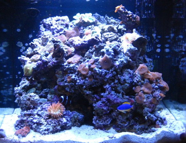 24 gallons reef tank (mostly live coral and fish) - My nano 24 gallon gem!!! 50lbs of live rock ricordea mushrooms, green leather coral, brown polyps, different kind of mushrooms, chili coral, and last its an acan coral!!Just 2 fish maroon clown that ive had for about 4 years now with his love the rose bulb anemone and a fiji damsel, the rest are hermit crabs a beautiful indian starfish and a sea urchin.