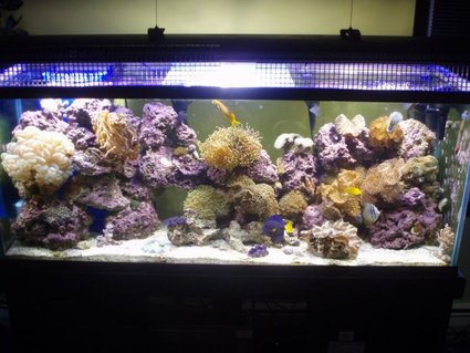 Rated #81: 125 Gallons Reef Tank - 125 reef.  My pride and joy.