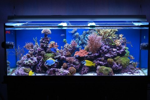 Rated #4: 100 Gallons Reef Tank - Latest Pics Of My One year old Reef Tank