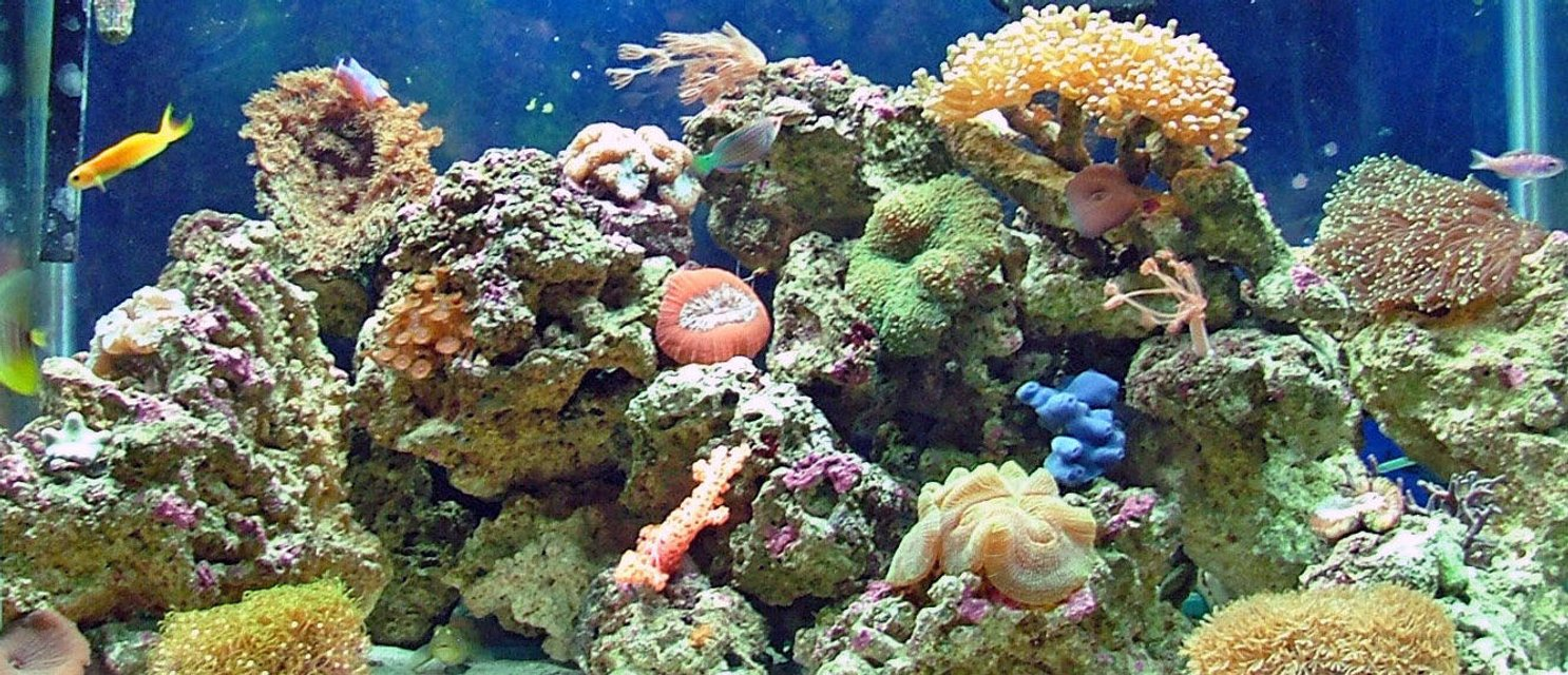 Rated #51: 65 Gallons Reef Tank - 65 gallon reef