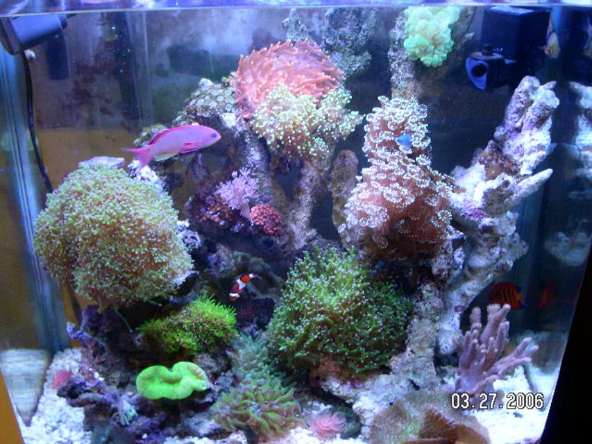 Rated #63: 37 Gallons Reef Tank - This is the latest picture of my  reef tank. It has changed a bit as I removed or added live stock. More color then before.