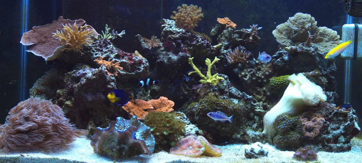 Rated #11: 65 Gallons Reef Tank - 65 gallon mixed reef @ 1 year