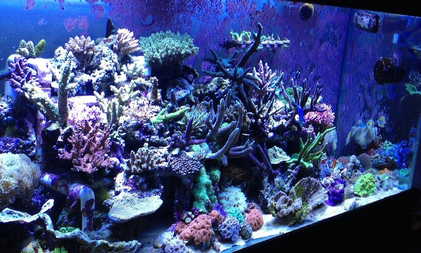 Rated #4: 110 Gallons Reef Tank - Sps tank