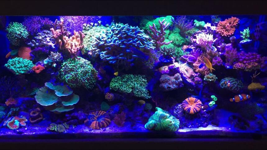 Rated #2: 90 Gallons Reef Tank - My 90 gallon mixed Reef