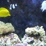 55 gallons reef tank (mostly live coral and fish) - 55 Gallon Saltwater Tank