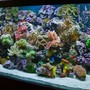 220 gallons reef tank (mostly live coral and fish) - 220 Reef-- By Aquariums By Sissy, Midland TX. Full tank shot. Aquarium has 55 gal. refugium and 1200 Watts of metal halide 1400K, 4-96 watts of power compact actinic, and moon lights. 2-1200 mag drive return pumps and no other circulation, so no cords to be seen.