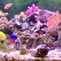 36 gallons reef tank (mostly live coral and fish) - lots of color, just the way I like it.