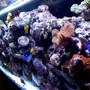 125 gallons reef tank (mostly live coral and fish) - 1week old 180 gallon tank